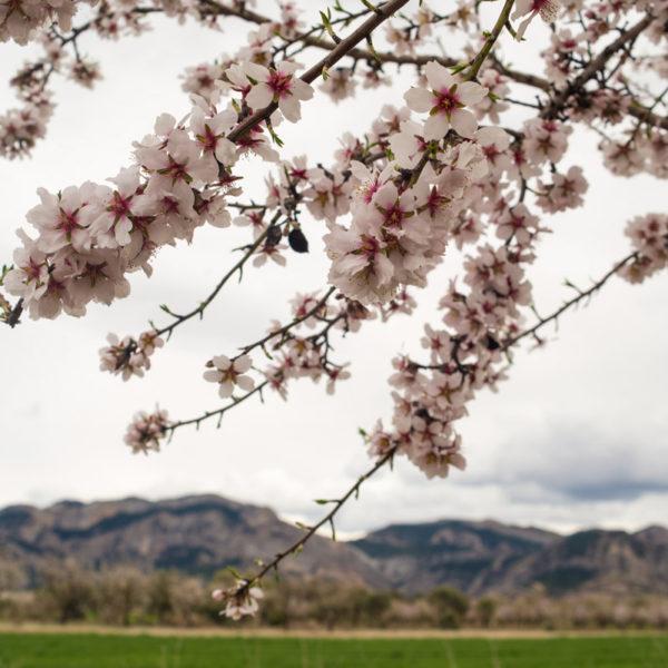 almendros-flor-matarrana-04-01