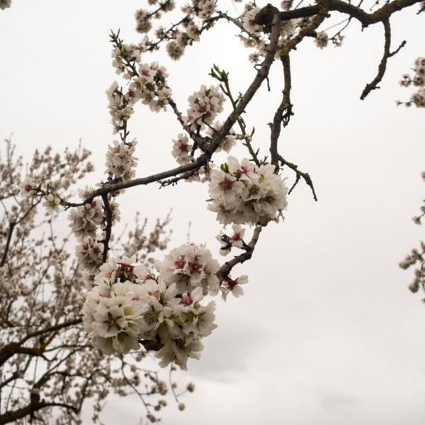 almendros-flor-matarrana-07-01